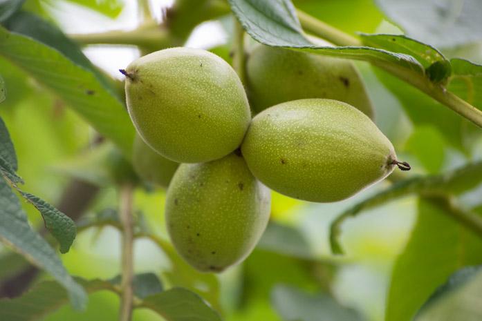 маньчжурский орех полезные свойства рецепты и лечение