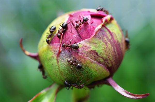 муравьи в огороде вред или польза