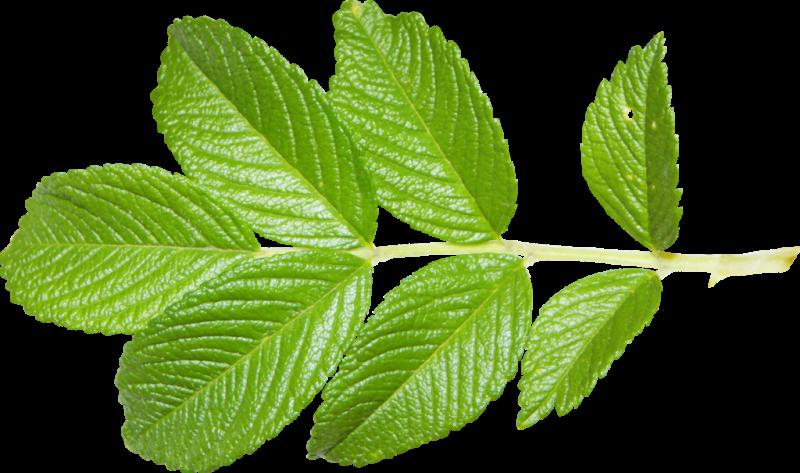сушеные листья малины полезные свойства и противопоказания для женщин
