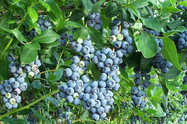 ягода голубика полезные свойства что готовят из голубики