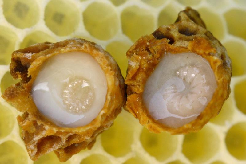 пчелиное маточное молочко польза и вред как принимать взрослым