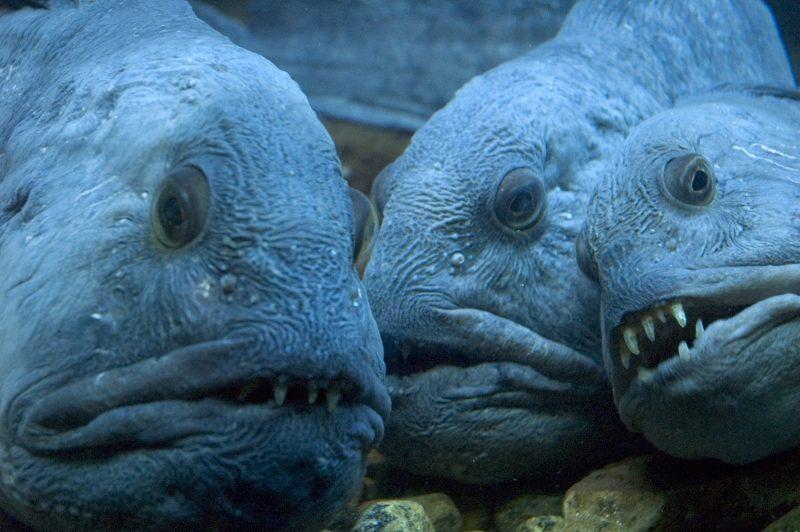 рыба зубатка польза и вред википедия