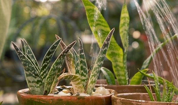 щучий хвост цветок вред или польза дома
